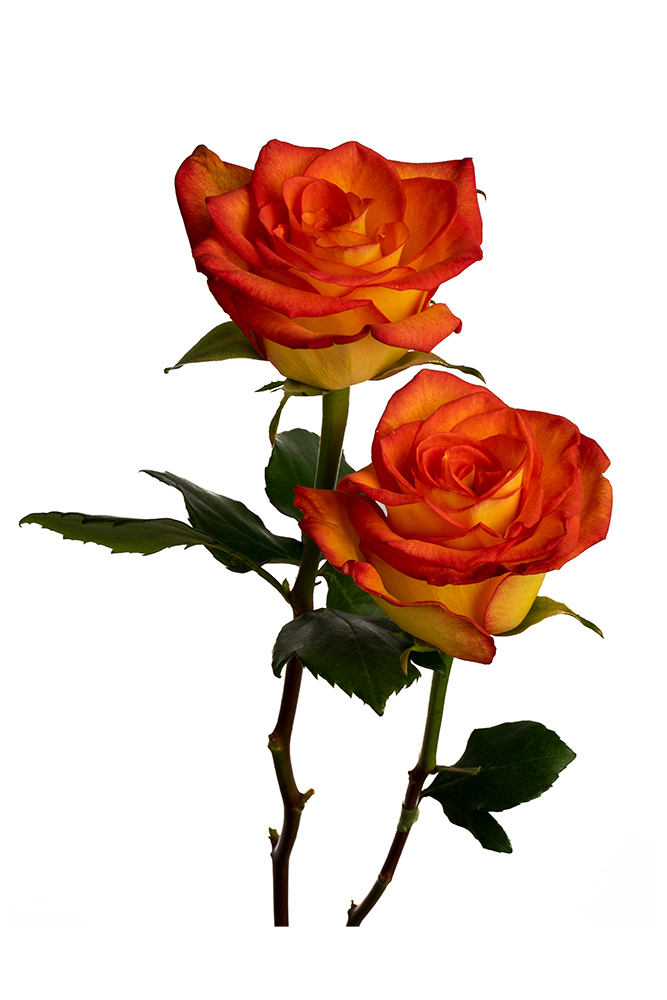 Rose Bicolor Yellow-Orange High & Magic