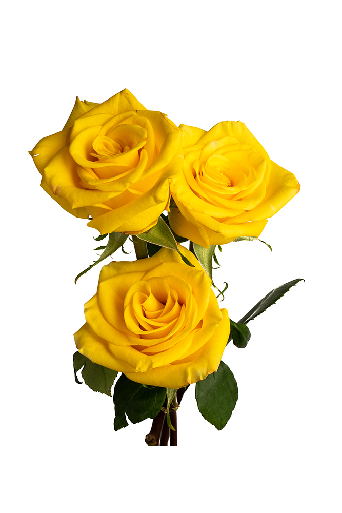 Rose Bicolor Yellow High & Yellow Magic