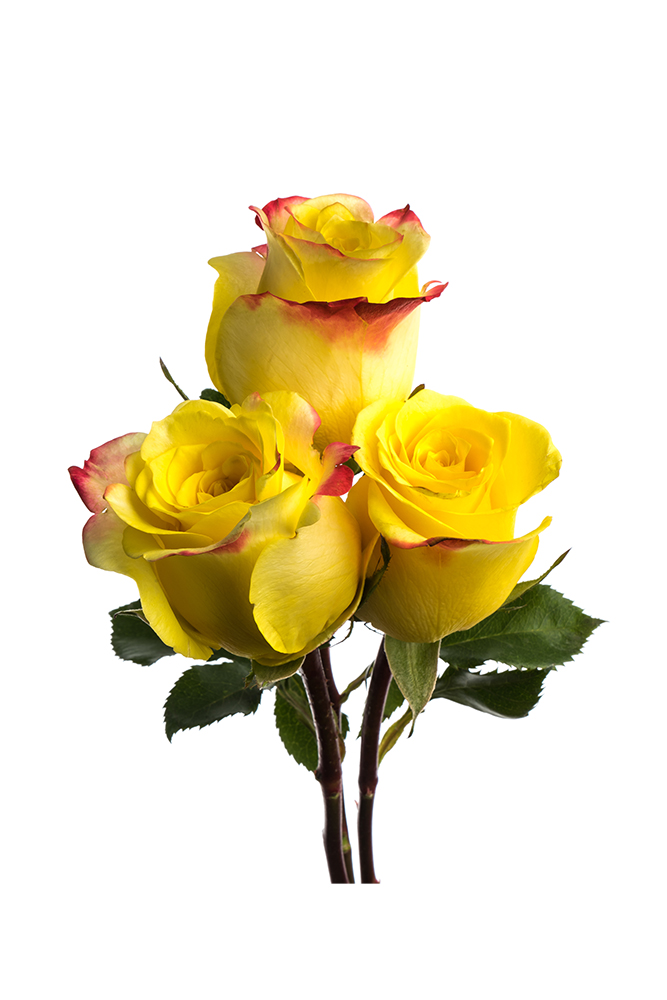 Rose Bicolor Yellow Hot Merengue