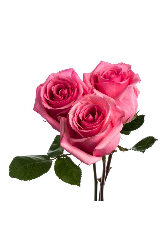 Rose Medium Pink Opala
