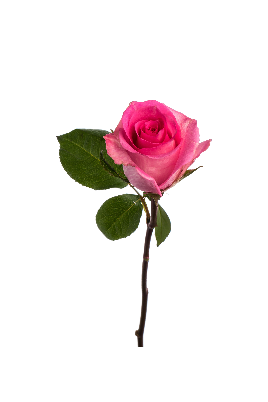 Rose Medium Pink Priceless