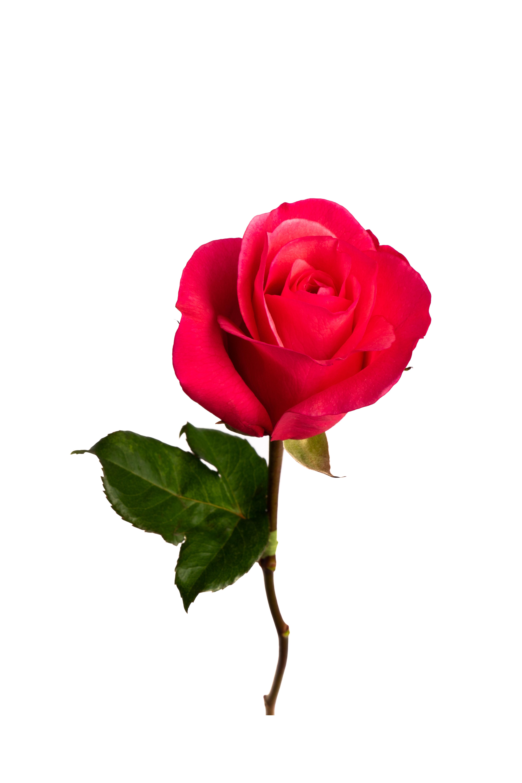 Rose Medium Pink Rock-n-Rose