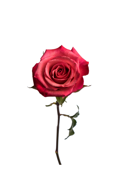Rose Medium Pink Satina