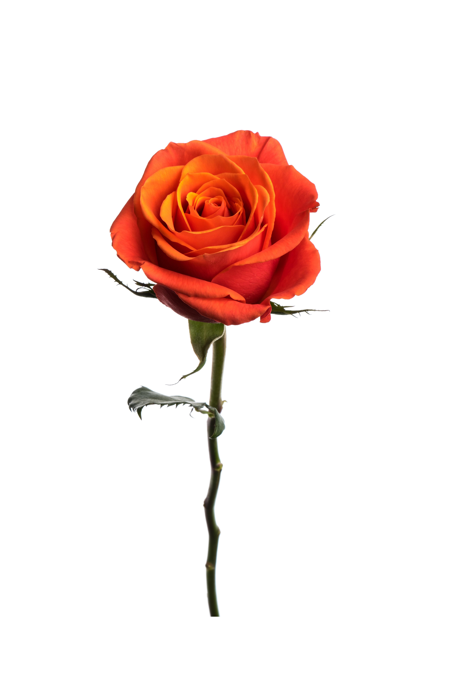 Rose Orange Cayenne