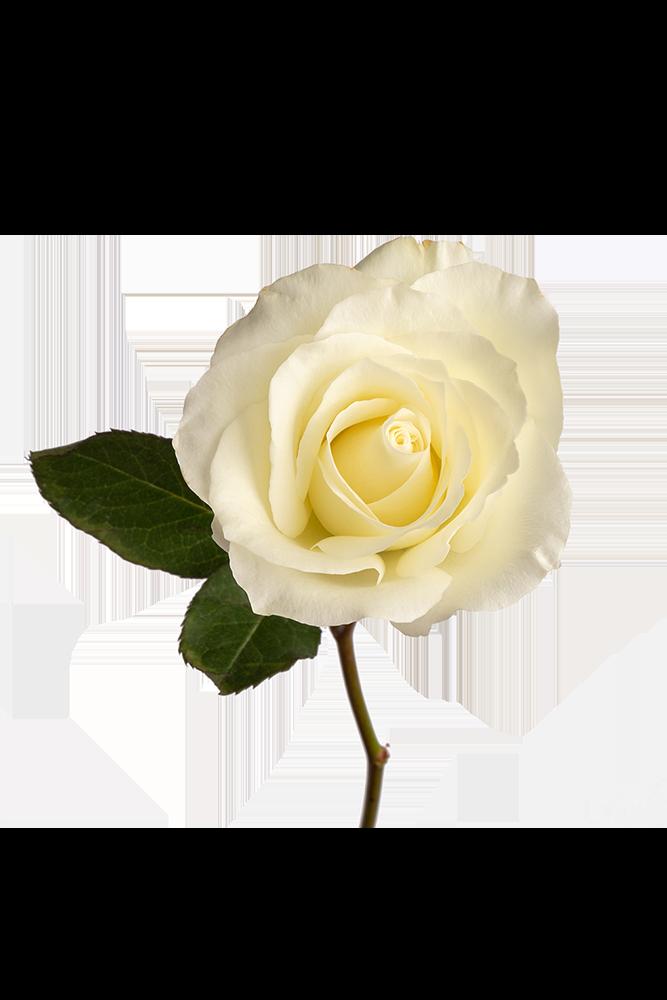 Rose White Ginebra