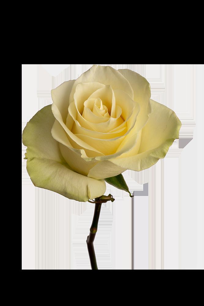 Rose White Mondial