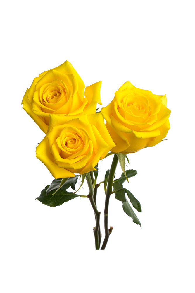 Rose Yellow High & Exotic