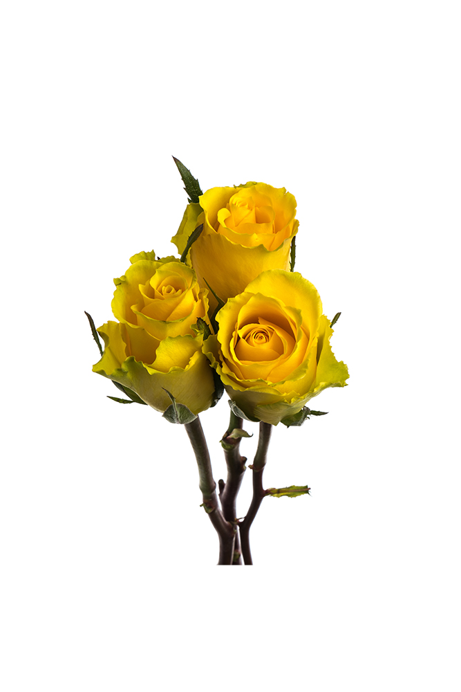 Rose Yellow Idole