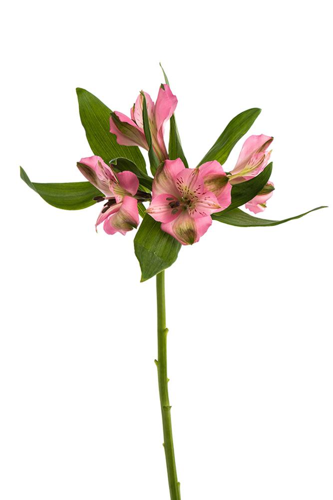Alstroemeria Pink Posh Pink