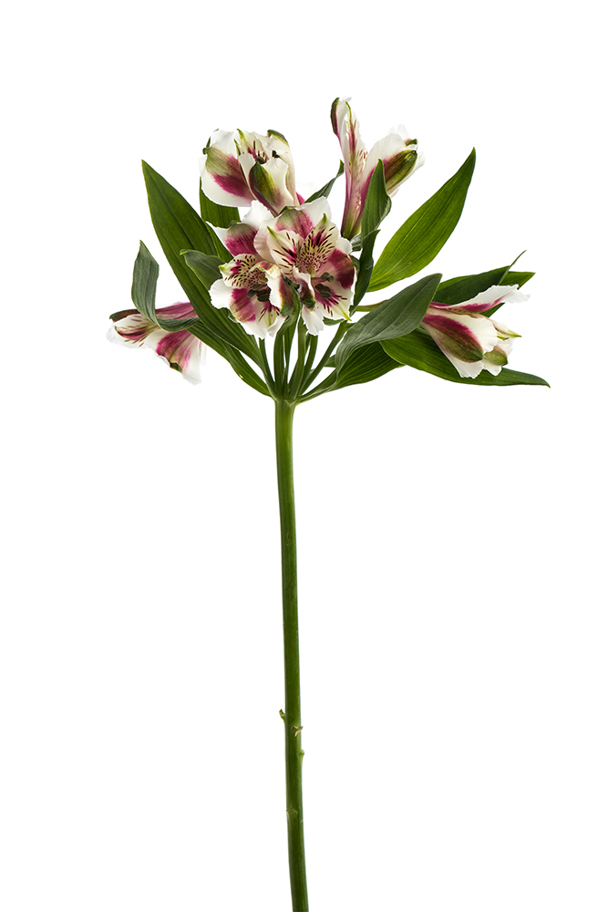 Alstroemeria Red Light White Bicolor