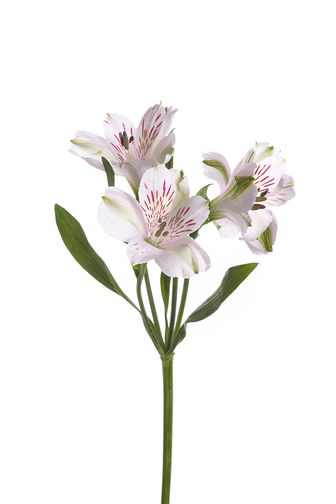 Alstroemeria White Virginia