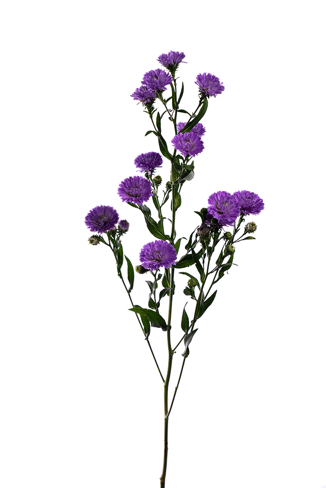 Aster Lavender Cairo