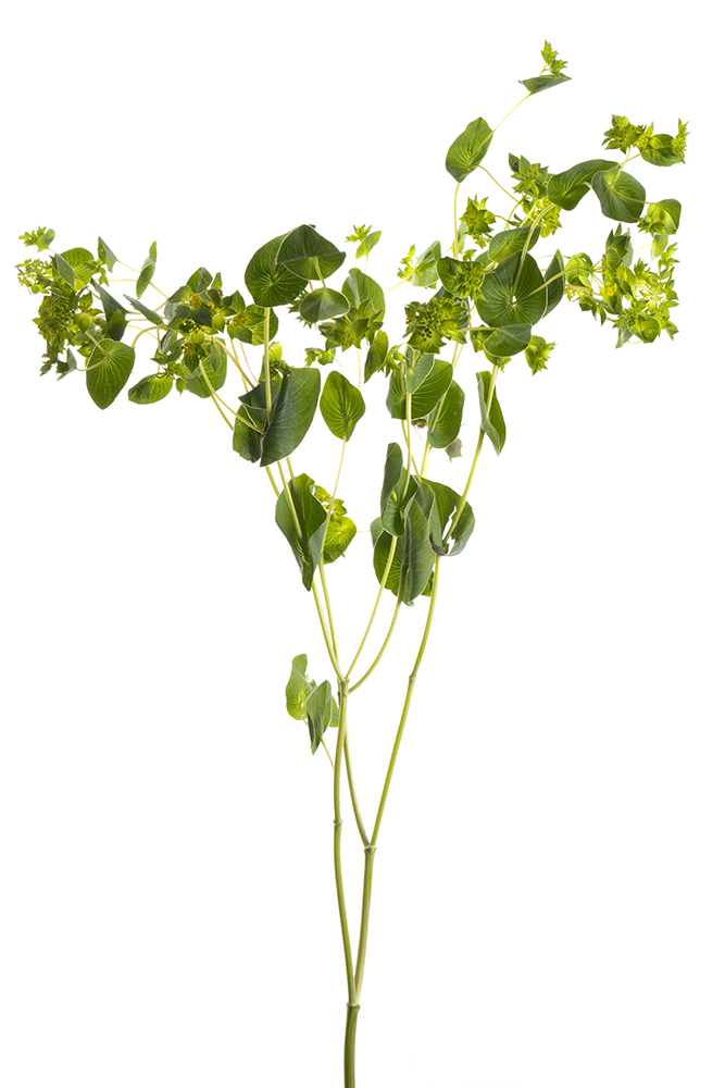 Bupleurum Green Guiffithi Green Gold