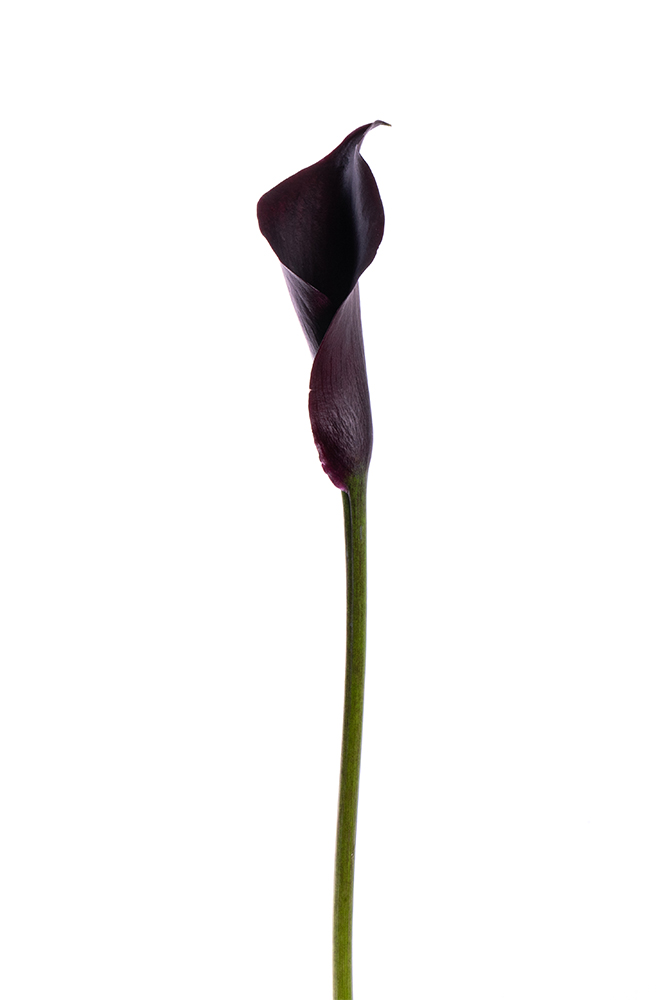 Calla Lily Mini Dark Purple Black Odessa