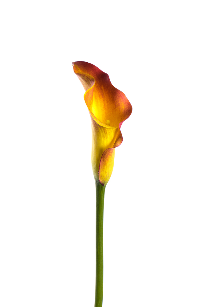 Calla Lily Mini Orange Red Trinity