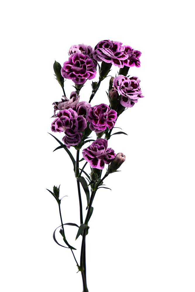 Carnation Mini Bicolor Burgundy-Lavender Zulia
