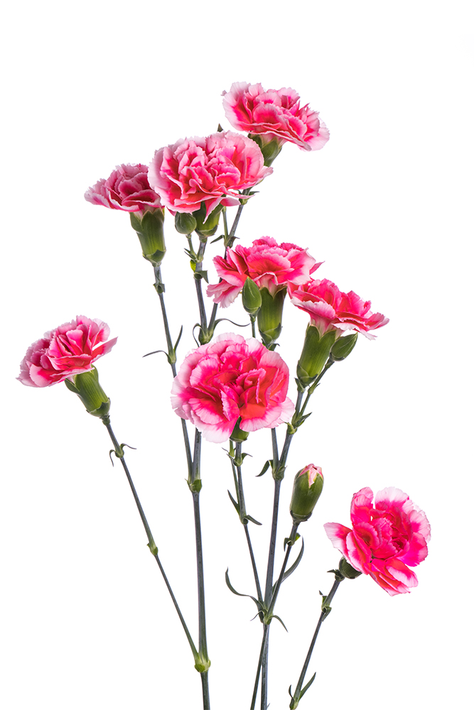 Carnation Mini Bicolor Hot Pink-White Cosmo Cherry