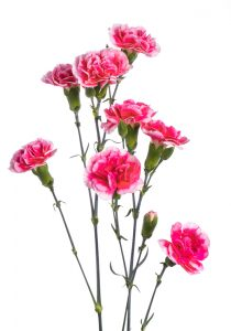 Carnation Mini Bicolor Hotpink White Cosmo Cherry