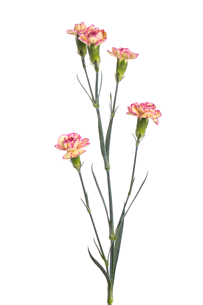 Carnation Mini Bicolor Yellow Pink Merengue