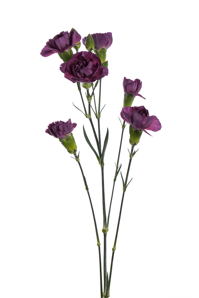 Carnation Mini Lavender Knight