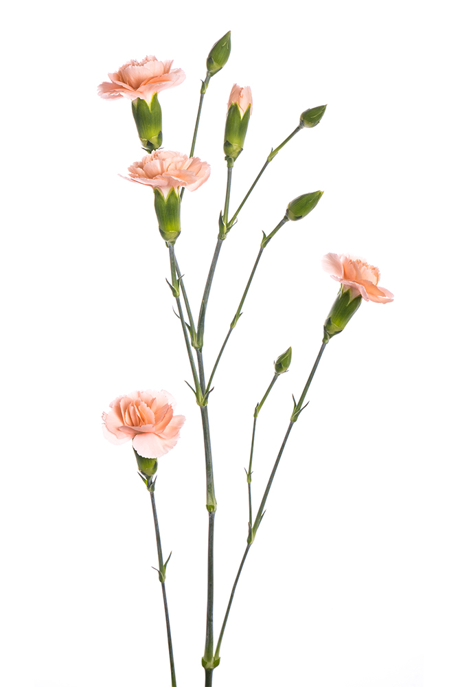 Carnation Mini Peach Hamada