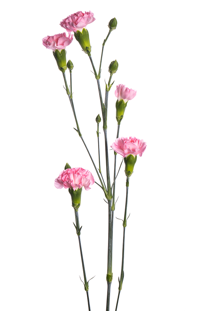 Carnation Mini Pink Roxanne