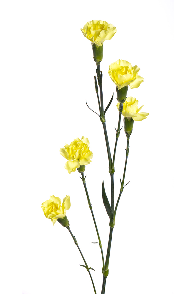Carnation Mini Yellow Dino