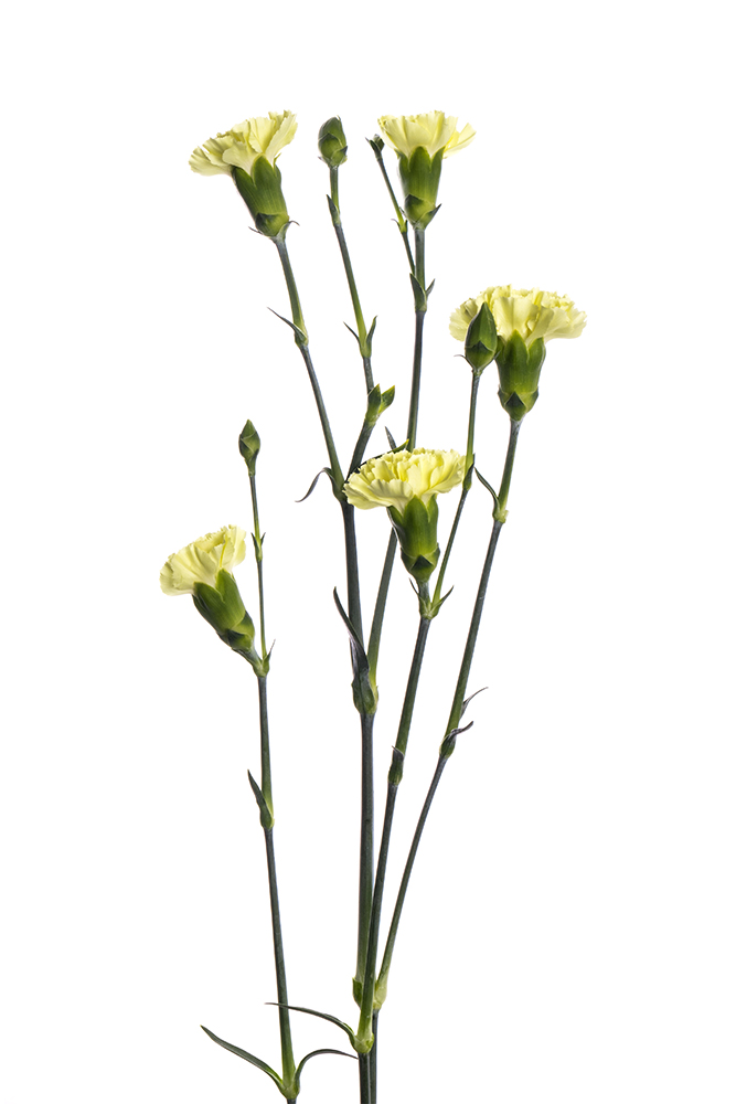 Carnation Mini Yellow Timana