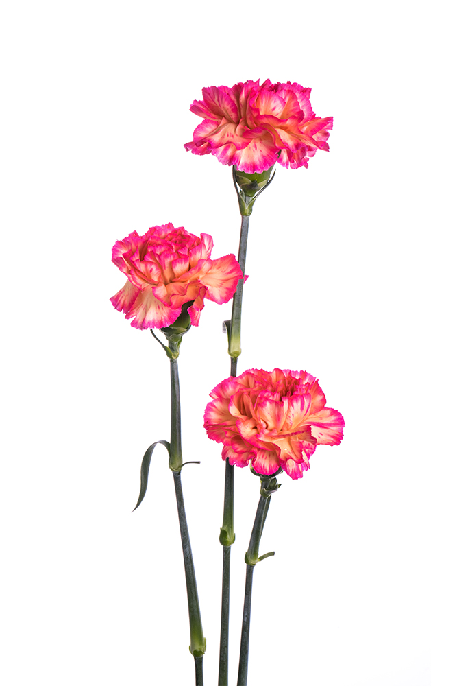 Carnation Bicolor Bicolor Orange-Hot Pink Spritzport