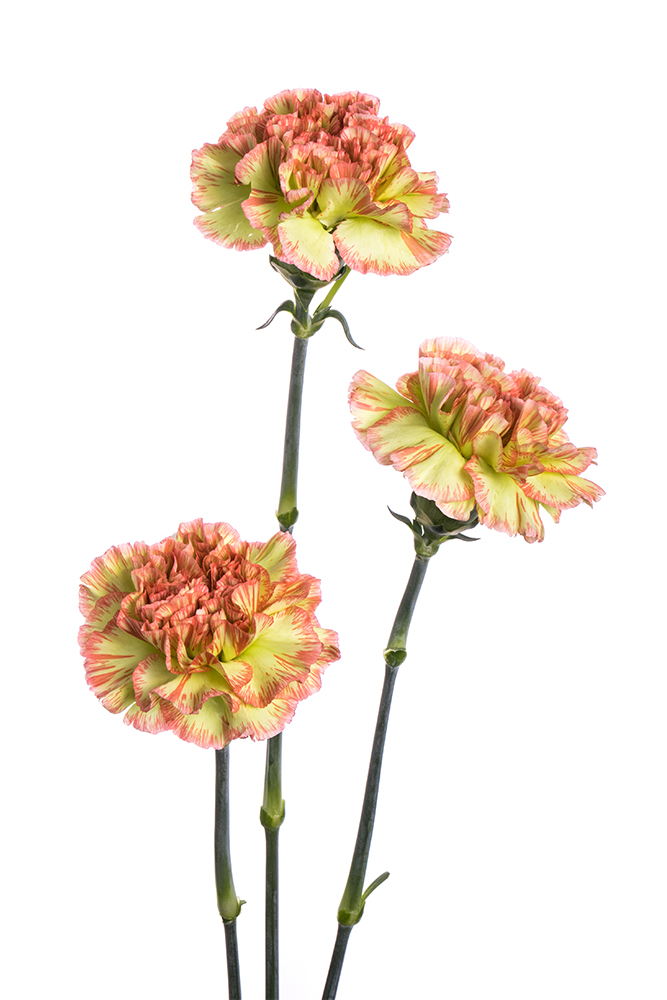 Carnation Bicolor Green-Peach Nowo