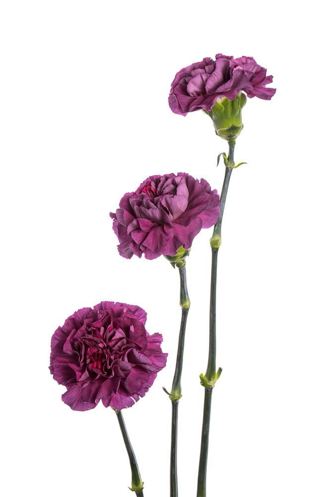 Carnation Bicolor Lavender-Purple Mohave