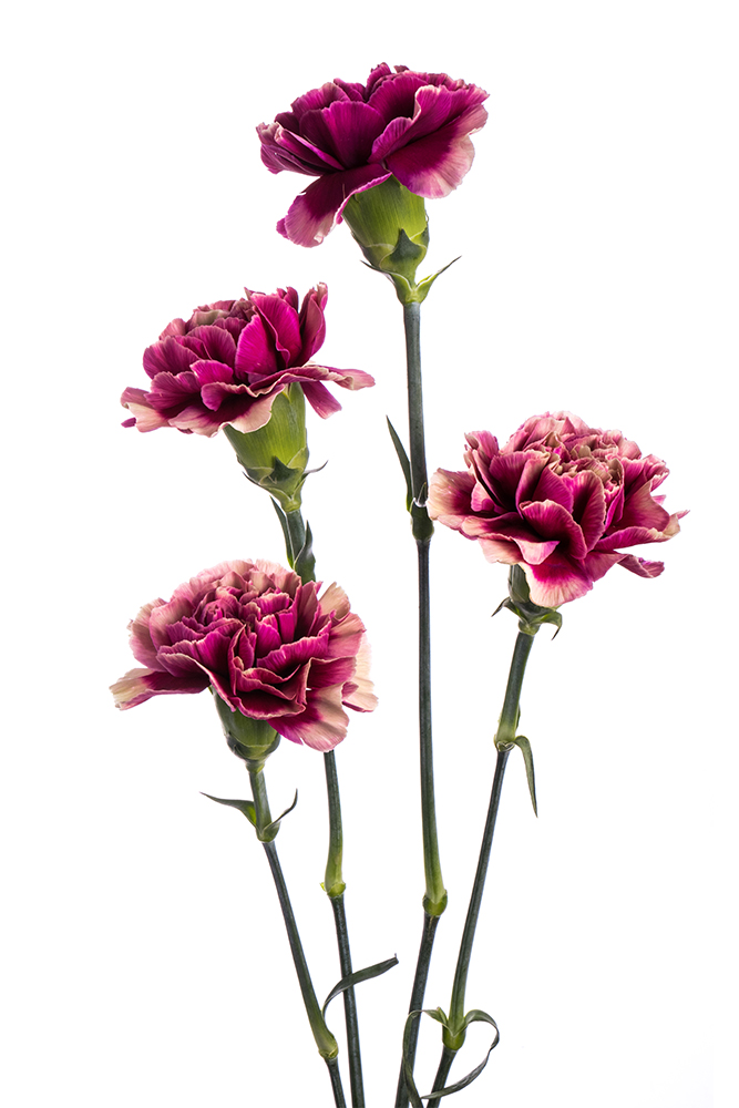 Carnation Bicolor Purple-Terra Hurricane