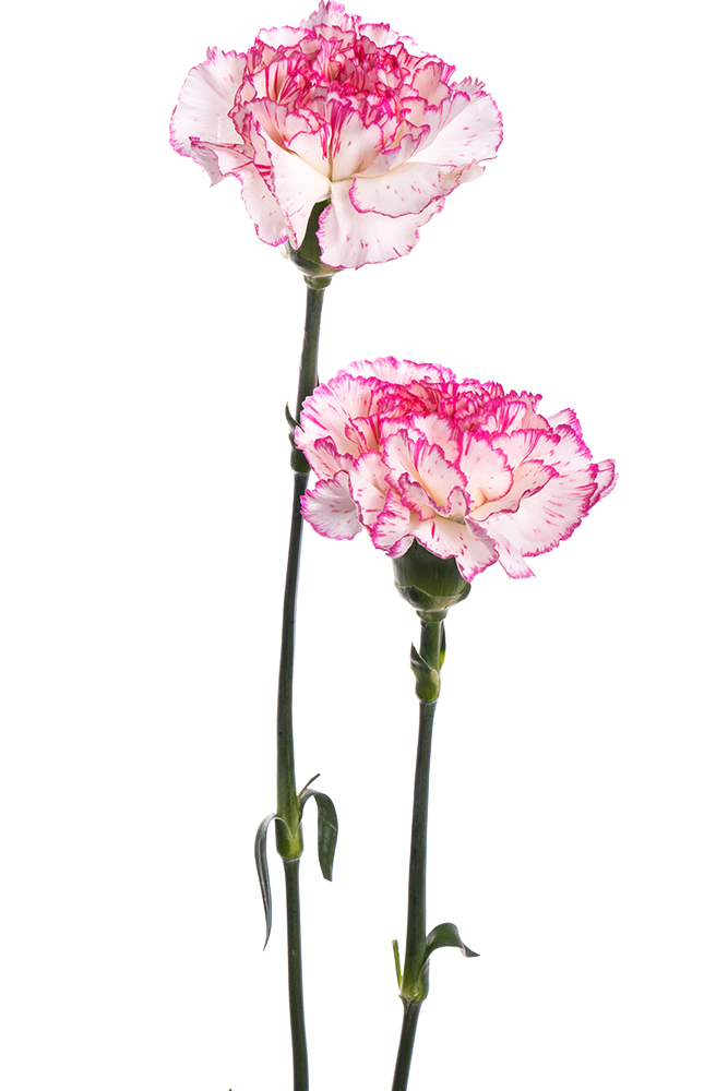 Carnation Bicolor White-Pink Melodia