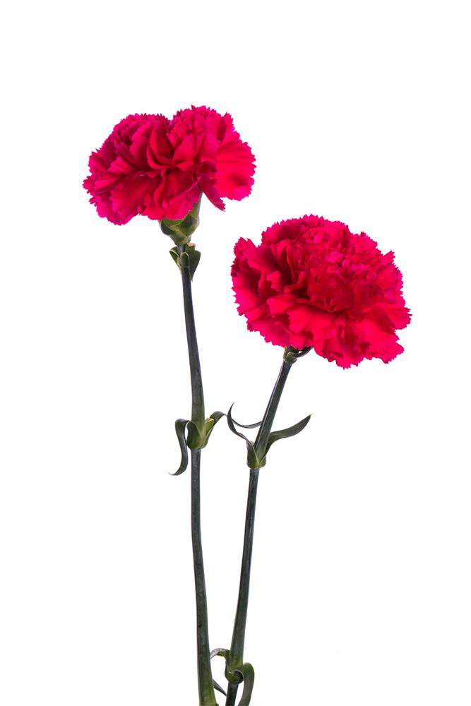 Carnation Hot Pink Bizet