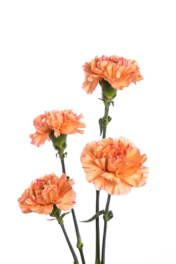 Carnation Orange Lion King