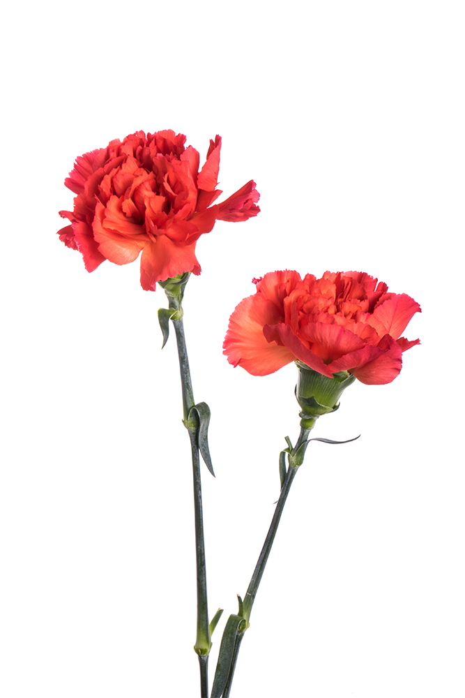 Carnation Orange Tangelo