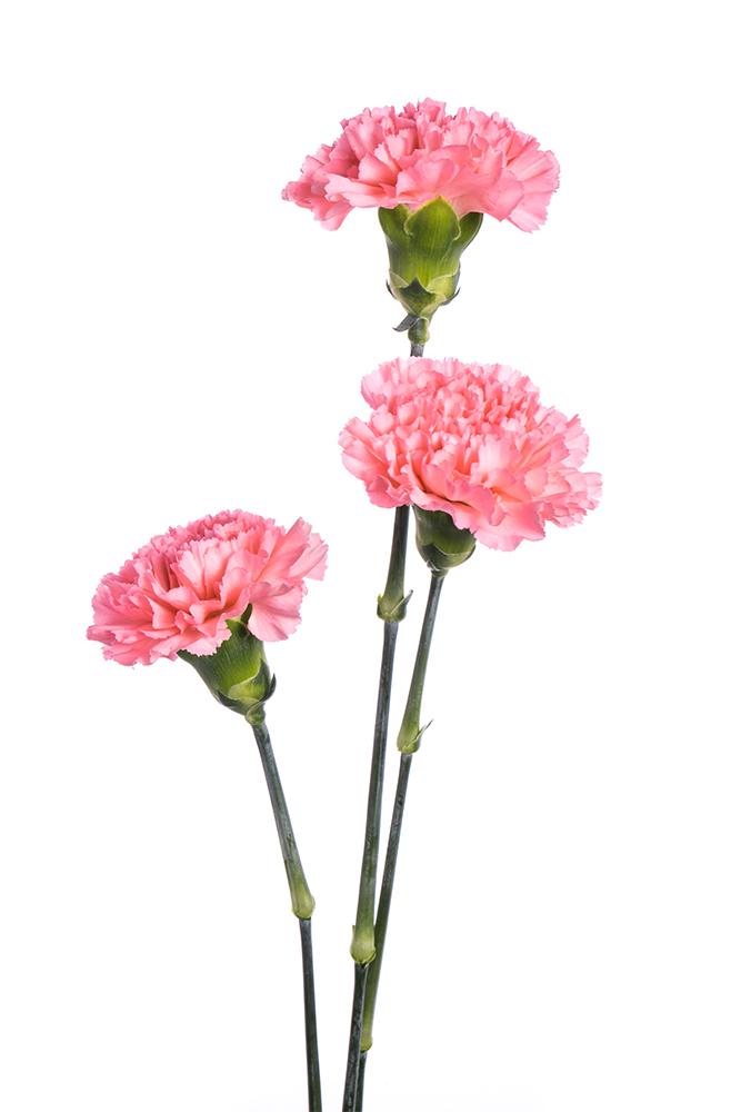 Carnation Pink Kaori