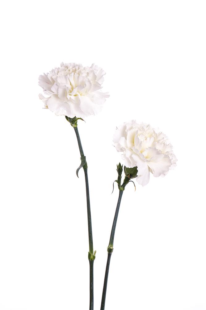 Carnation White Delphi