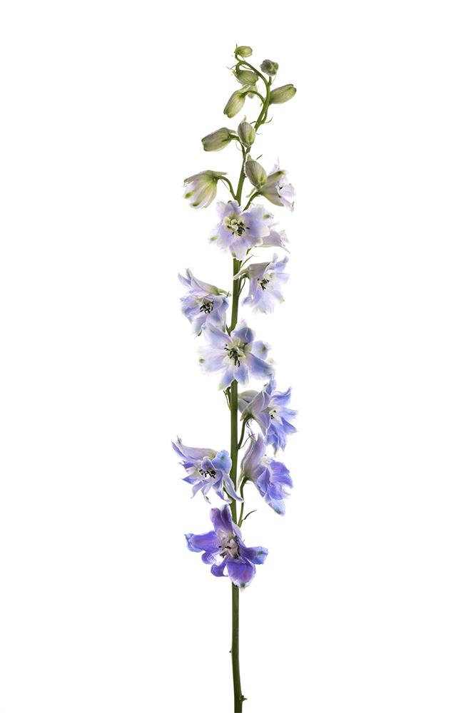 Delphinium Triton Light Blue