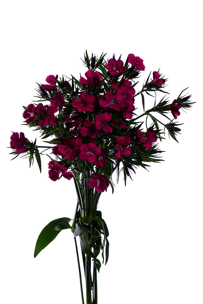 Dianthus Amazon Neon Pink Hot Pink