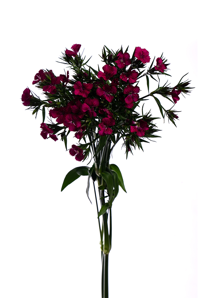 Dianthus Amazon Neon Purple