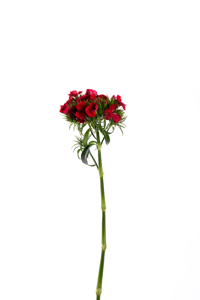 Dianthus Red Breanthus