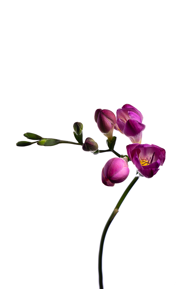 Freesia Fuschia Pink Passion