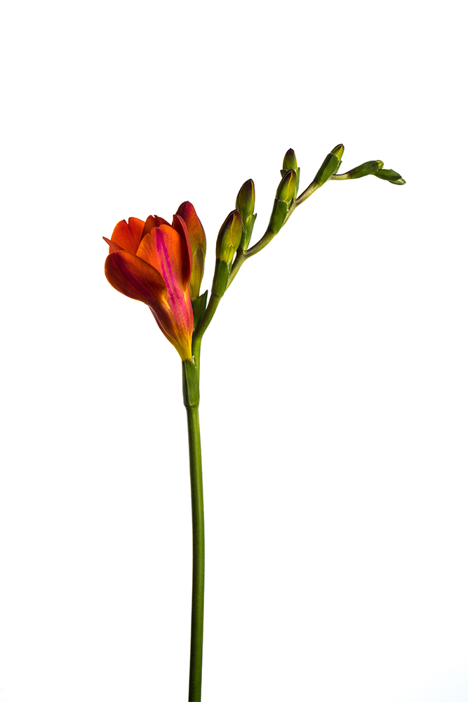 Freesia Orange Red Passion