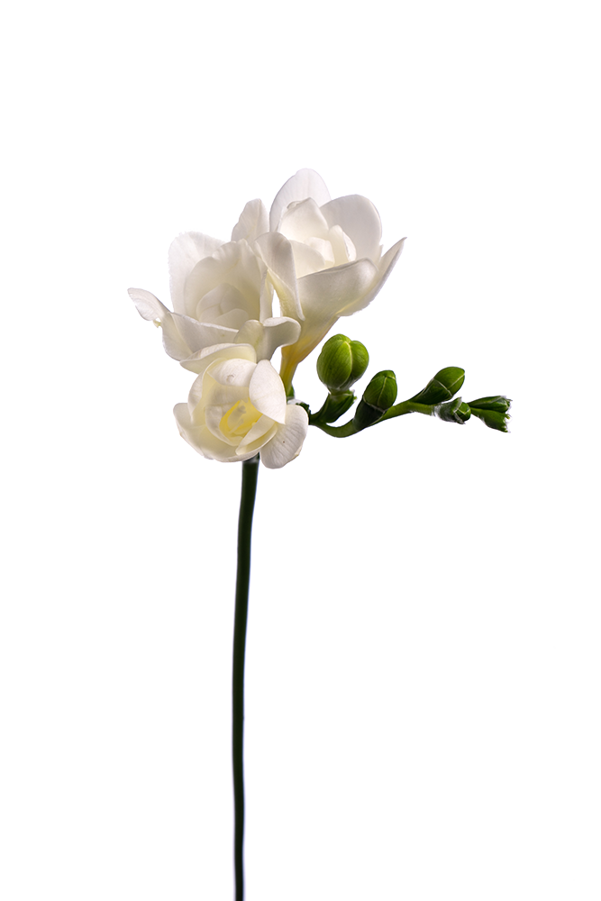 Freesia White Polar River