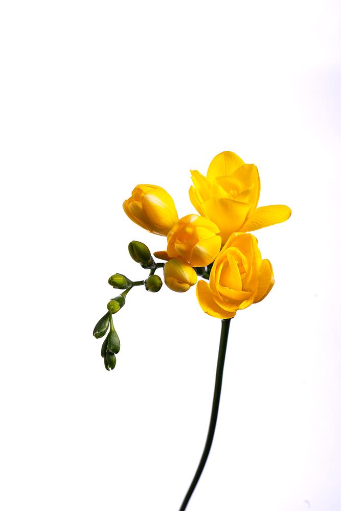 Freesia Yellow Soleil