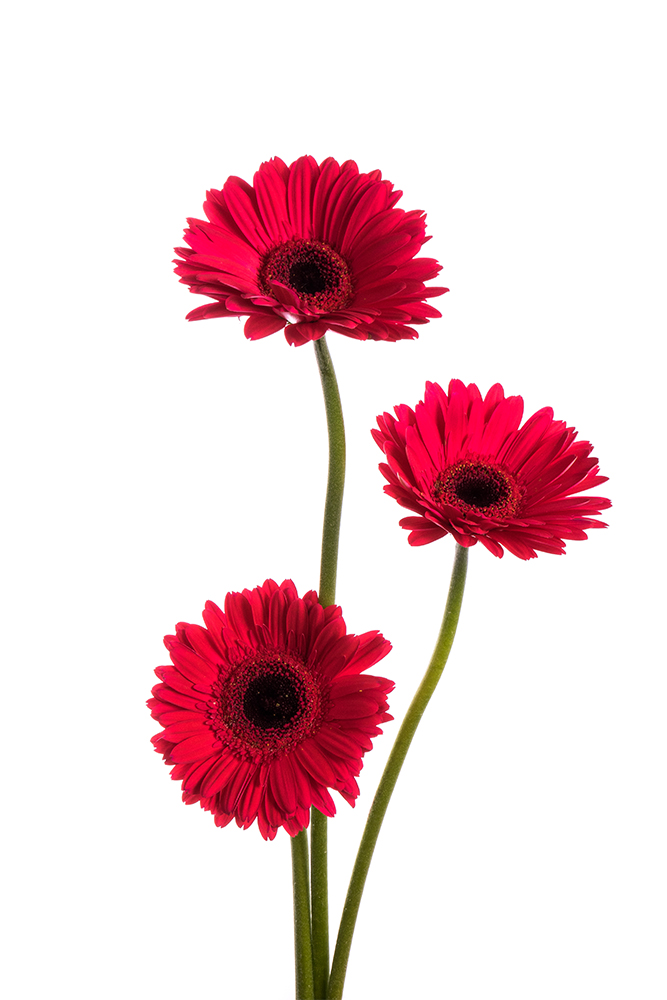 Gerbera Daisy Dark Red Intenza 1