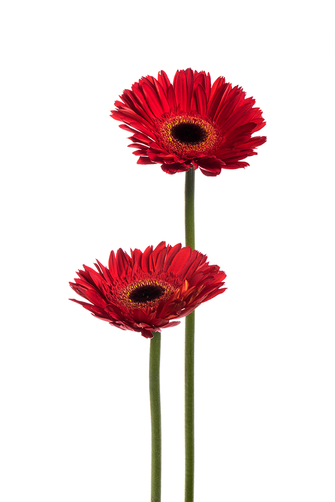 Gerbera Daisy Red Inferno 2