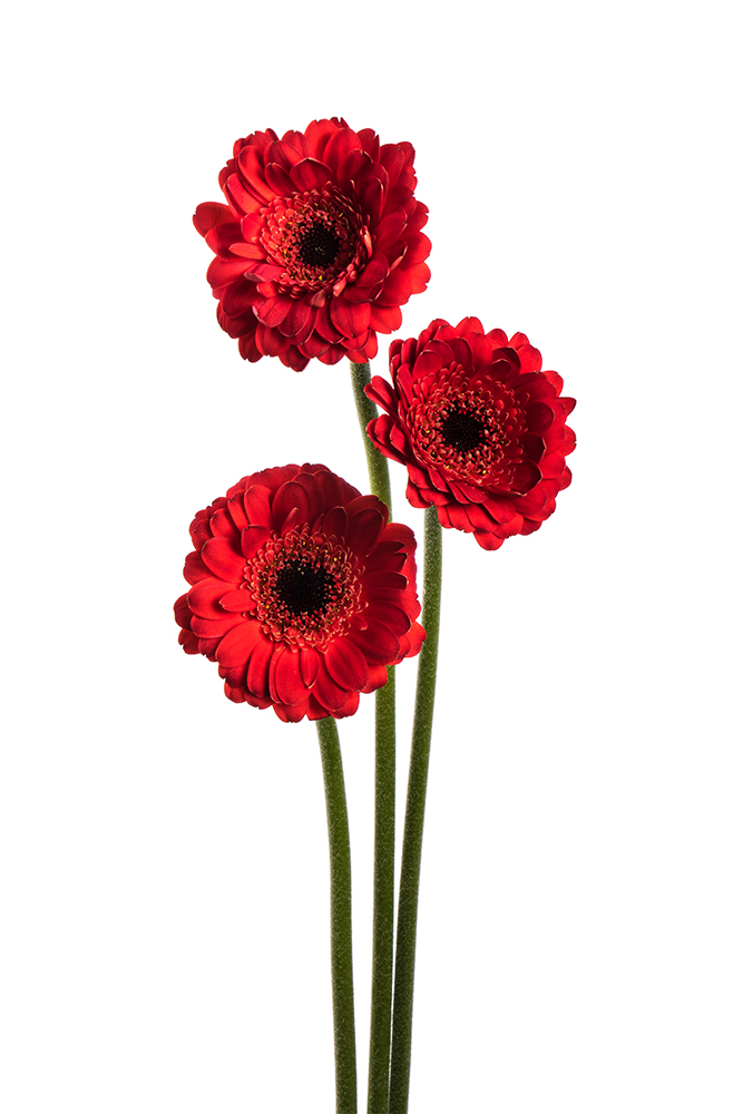 Gerbera Rioja Red