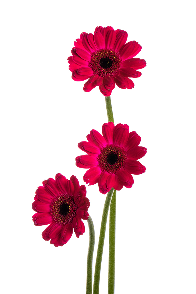 Gerbera Mini Hot Pink Rowan